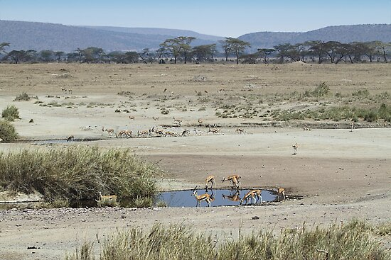 Thomson's Gazelles in the landscape, Serengeti, Tanzania.  by Carole-Anne