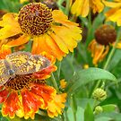 Sneezeweed by Shelley Neff