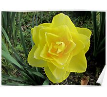 Double Yellow Daffodil Poster