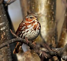 Foxy / Fox Sparrow by Gary Fairhead