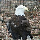Bald Headed Eagle by Karen K Smith