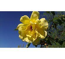 Yellow Rose Brings Sunshine Photographic Print