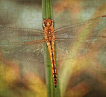 Golden Skimmer by Bonnie T.  Barry