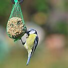 Blue Tit by relayer51