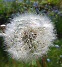 Dandelion in a cottage garden, Bristol, UK by buttonpresser