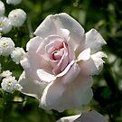 pink rose by Roslyn Lunetta