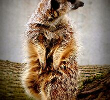 Meerkat by Tony Worrall