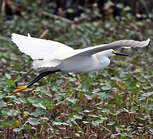 Snowy Egret in flight by venny
