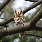 Screech Owl by Freedom