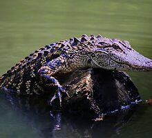 Gator Coming Aboard by Paulette1021