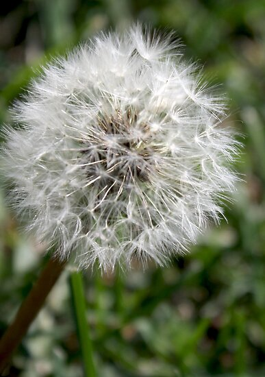 Dandelion Seed by garnetphoto