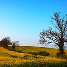 Oilseed Rape in Oxfordshire by vivsworld