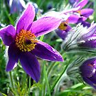 Pasque Flower by kkmarais