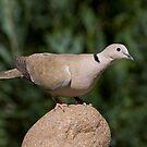 Eurasian Collared Dove, Streptopelia decaocto by Janika