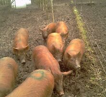 Does my bum look big in this? ( Tamworth Pigs ) by Anthony Manders