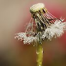 Dandelion seeds by Lyn Evans