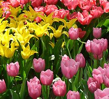 tulips in colors.... by LisaBeth