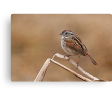 Easter morning Swamp Sparrow. Canvas Print