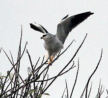 Black-Shouldered Kite by ajay2011
