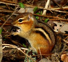 What?  It's a Delicacy (Eastern Chipmunk) by Robert Miesner