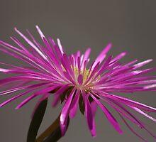 Flower 4877 by João Castro
