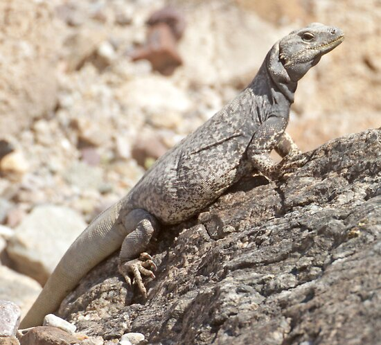 Chuckwalla by Anthony Brewer