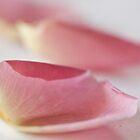 rose petals by Hege Nolan