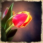 Tulip by Colleen Drew