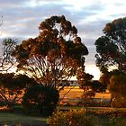 Late afternoon farm scene with gum trees by Phil Harvie