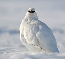 Svalbard Ptarmigan Close Contact by Algot Kristoffer Peterson