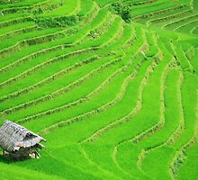 Rice field terraces by MotHaiBaPhoto Dmitry & Olga