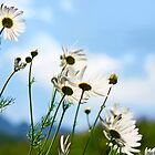 flower chamomile against blue sky by Medeu
