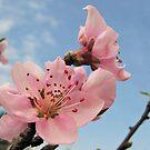 Blooming Apricot by Marina Herceg