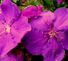 Tibouchina 2 by Angela Gannicott