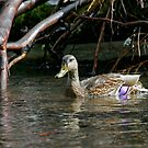 Mallard Female by Randall Ingalls