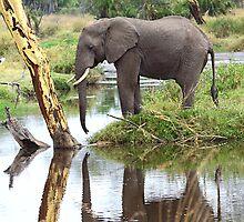 African Elephant, Serengeti National Park, Tanzania.  by Carole-Anne
