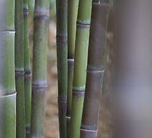 USA-California / Bamboo Forest by Christopher Casilli