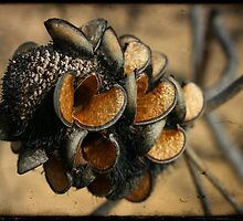 Banksia seed pods by Miriam Shilling