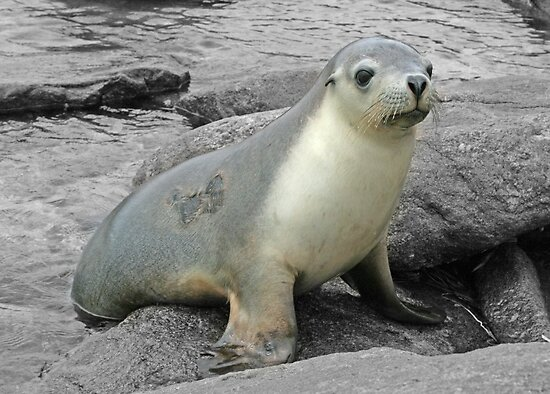 A friendly seal by Miriam Shilling