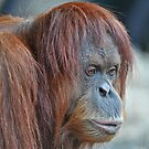 Orangutan by Tom Newman