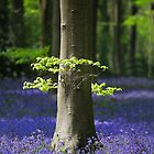 Bluebell woodlands by Martyn Franklin