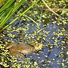 Marsh Frog by Steve