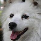 American Eskimo Dog  by Abigail Jennings