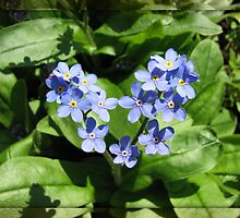 Blue Forget-Me-Nots in Mirrored Frame by BlueMoonRose