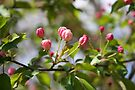 Budding Pink 2 by WalnutHill