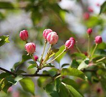 Budding Pink 2 by WalnutHill