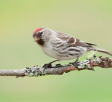 Female Common Redpoll. by Daniel Cadieux