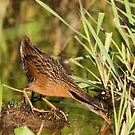 Virginia Rail by Randall Ingalls