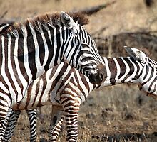 Plains Zebra,  Serengeti National Park, Tanzania.  by Carole-Anne