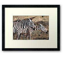 Plains Zebra,  Serengeti National Park, Tanzania.  Framed Print